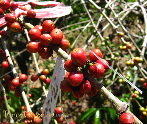 coffee cherry | by PinoyOrganics