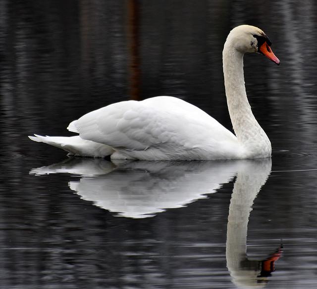 Swan Angry