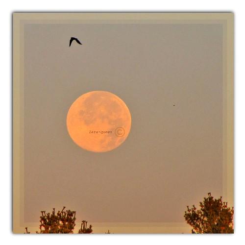 canada bird sunrise quebec magog fullmoon oiseau estrie pleinelune quynhvu oct2010 laraqueen