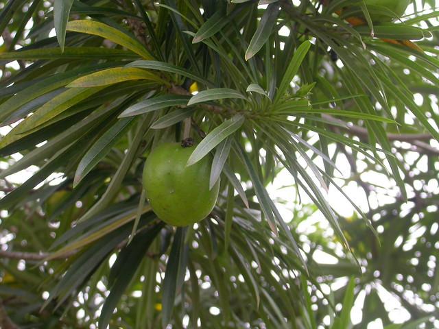 Cascabela thevetia (L.) Lippold (APOCYNACEAE)