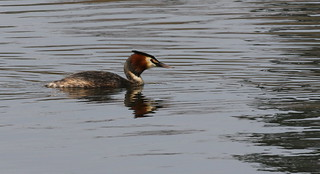 Great Crested Grebe | by themadbirdlady