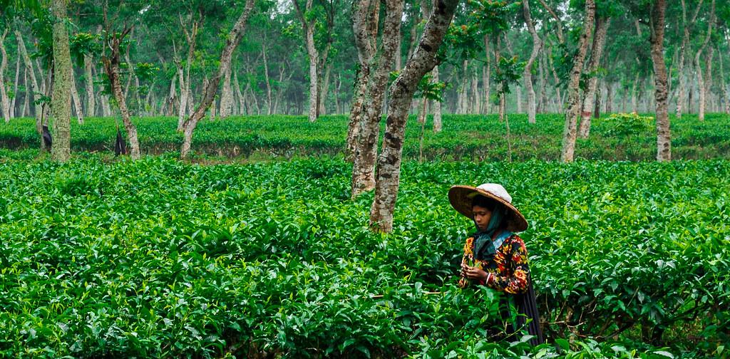 tea garden sylhet bangladesh  rabi flickr