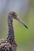 Limpkin (Aramus guarauna) by Steve Raduns