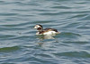 Long-tailed Duck, Oldsquaw (Clangula hyemalis) by Francisco Piedrahita