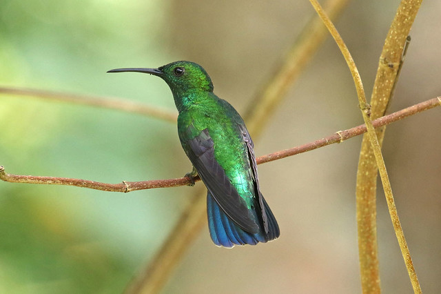 Green Mango - Anthracothorax viridis