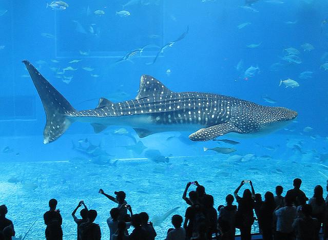 Whale Shark at Okinawa Churaumi Aquarium