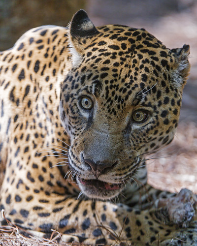 Jaguaress looking surprised | by Tambako the Jaguar