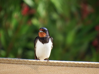 Swallow Hirundo rustica | by david cawthraw