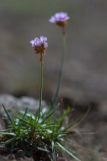 Galmei-Grasnelke (Armeria maritima subsp. halleri)