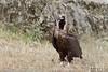 Eurasian Black Vulture, Aegypius monachus by Kevin B Agar