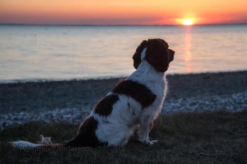 52weeksfordogs animal cocker outdoor spaniel zigzag dog hund nature pet sunset water hurupthy northdenmarkregion denmark dk