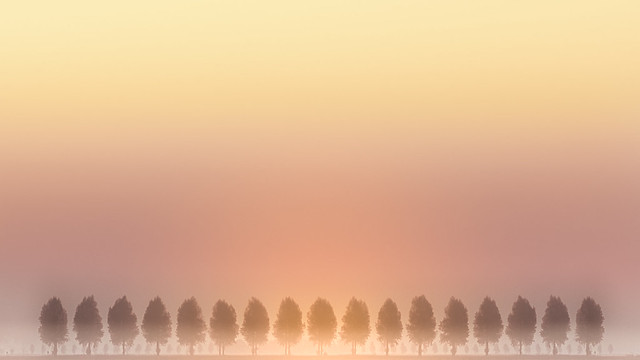 Row of Trees in Morning fog with Rising sun.