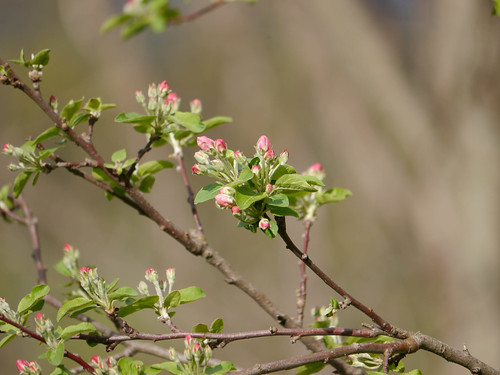 Apple blossoms | by grongar