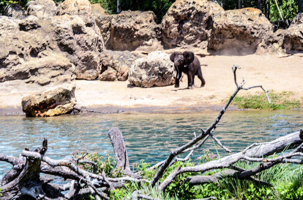 Baby elephant running safari