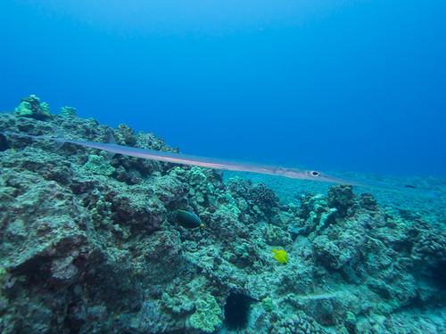 Blue-spotted cornetfish (Fistularia commersonii ...