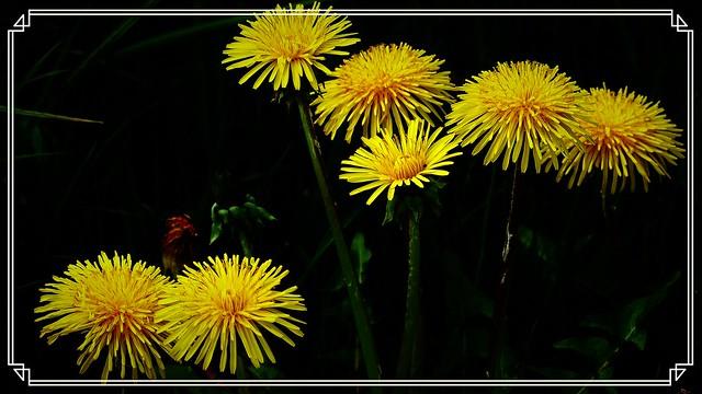 Mlecz - kwiaty