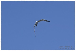 Royal Tern (Thalasseus maximus)1 | by Jaime Robles M.