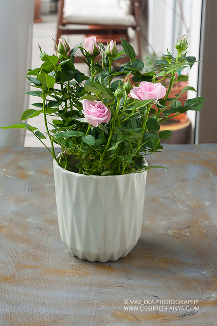 Bush of rose roses in a grey pot