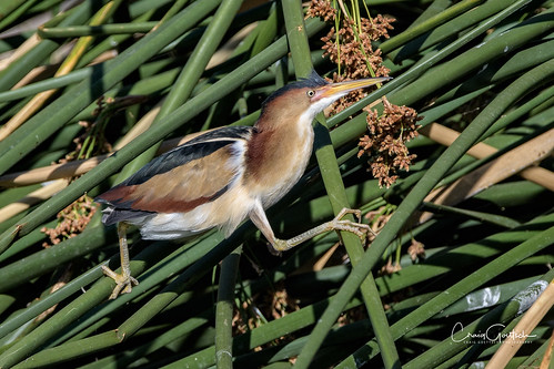 leastbittern male bird avian animals nature wildlife reeds green nikon d500 600mm tc14eii