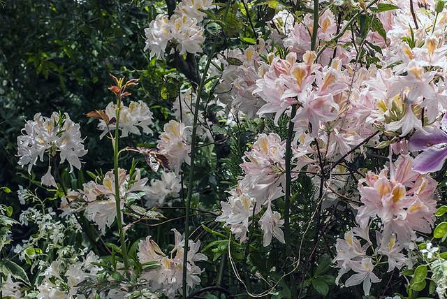 spring, the abundance of azaleas