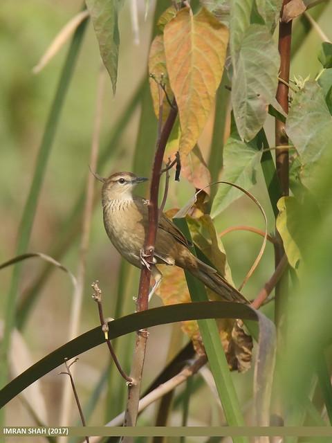 Striated Grassbird (Megalurus palustris)