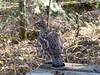 Ruffed Grouse (Bonasa umbellus) (Female) by Gerald (Wayne) Prout