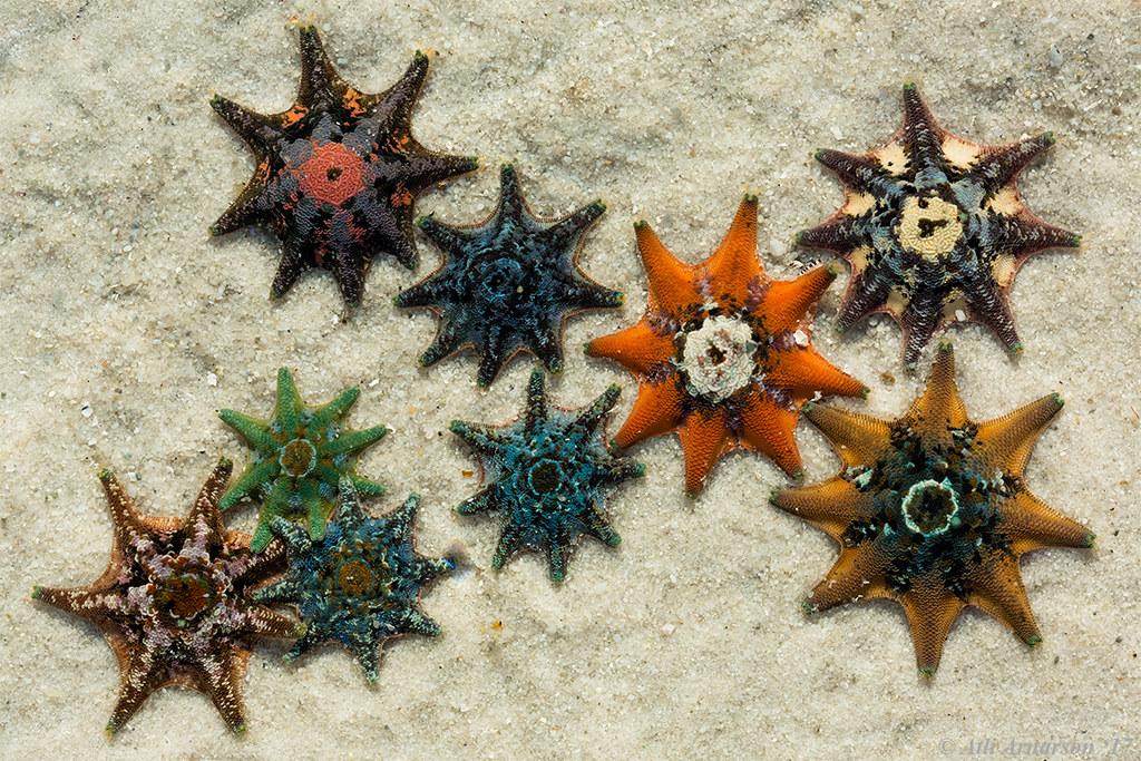 Meridiastra calcar | Carpet sea stars (Meridiastra calcar) i
