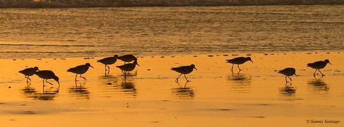 sandpipers naturaleza beach strolling backlight silhouette nature outside canon7d canonef70200f4l lightroomcc