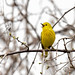 Little and yellow with a great big song by dbifulco