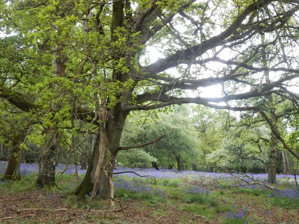 Bluebells Tring to Berkhamsted