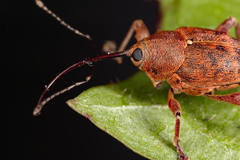 Oak weevil