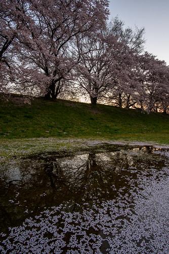 japan kyoto 背割堤 淀川 川 river 星景 starscape 八幡市 京都府 cherry 桜 日の出 sunrise