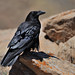 Flickr photo 'Corvus corax Linnaeus, 1758' by: Michał Włodarczyk.