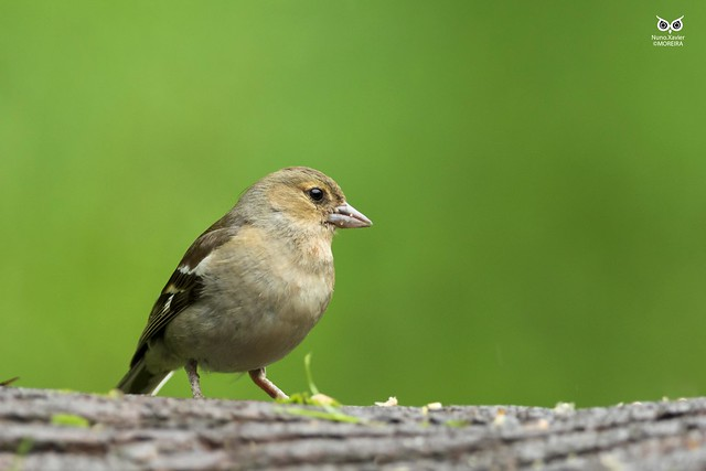 Tentilhao-comum, Common Chaffinch (Fringilla coelebs)