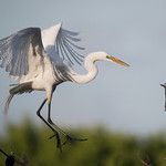 Great Egret, fllying