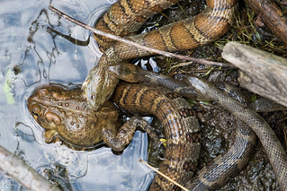 Four water snakes pursue a meal