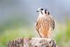 Female American Kestrel Perch by jeff_a_goldberg