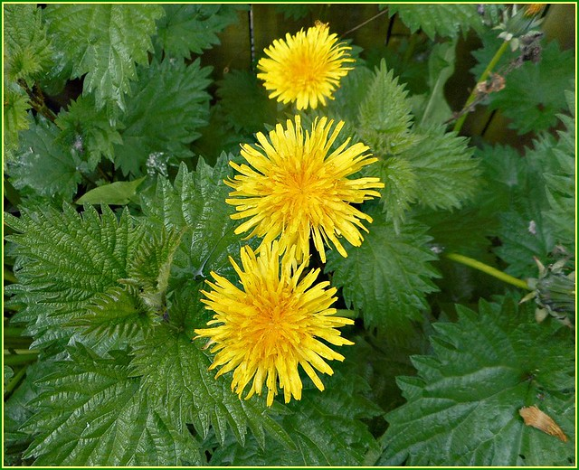 Three Dandelion Flowers ..
