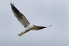 Milano Blanco - Elanus leucurus - White-tailed Kite by Jorge Schlemmer
