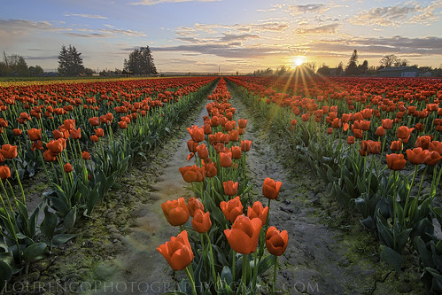 tulip red flower bed festival sunset beautiful landscape sun