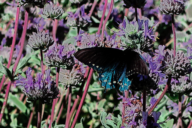 J20170428-0076—Pipevine Swallowtail nectaring on Salvia chionopeplica—RPBG—DxO
