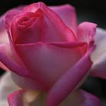 rose,バラ。