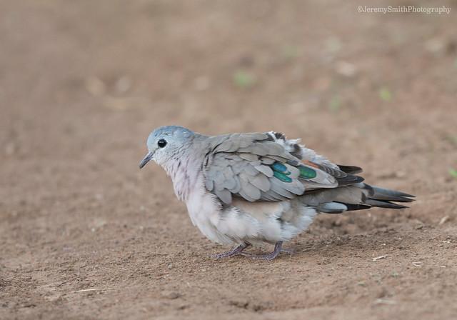 Emerald-spotted Wood Dove, Turtur chalcospilos, Cawston Wildlife Estate, Matabeleland, Zimbabwe