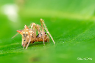 Three-horned comb-footed spider (Molione triacantha) - DSC_4417