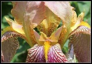 Iris jacquesiana (4) | by Neira Magic'B