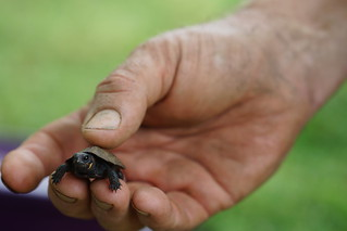 Young bog turtle in hand | by USFWS/Southeast