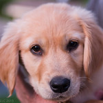 Sadie - M friend's Golden Retreiver Pup