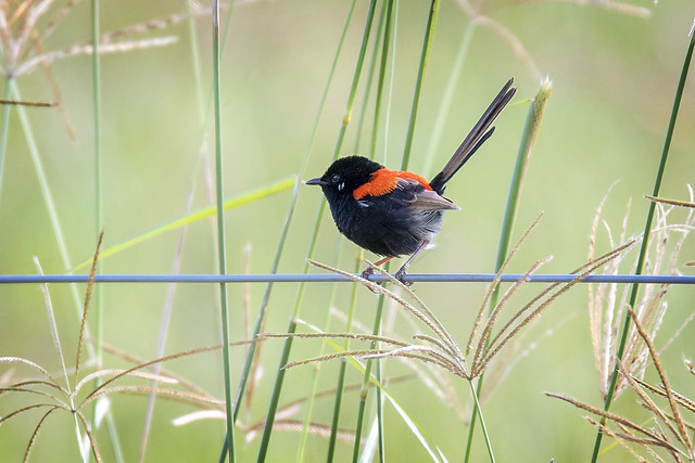 small bird series: ♂ red-backed fairy wren