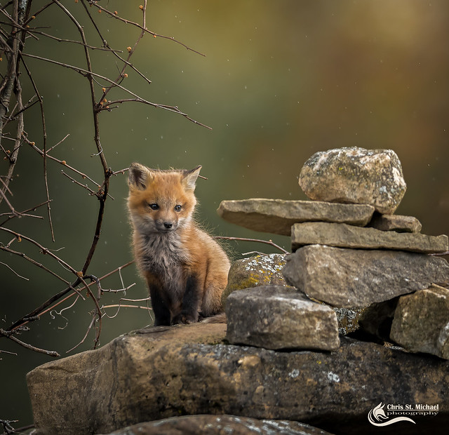 What is it? - Red Fox Kit