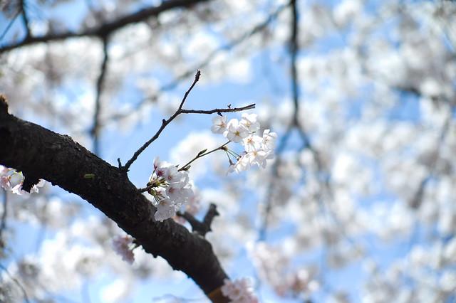 藍天裡的櫻花朵朵開